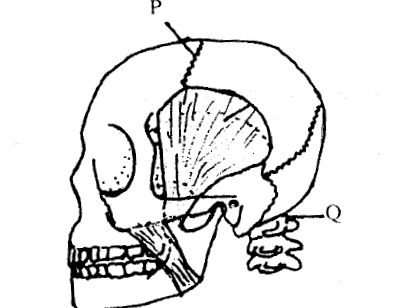 Drawing of Human Skull