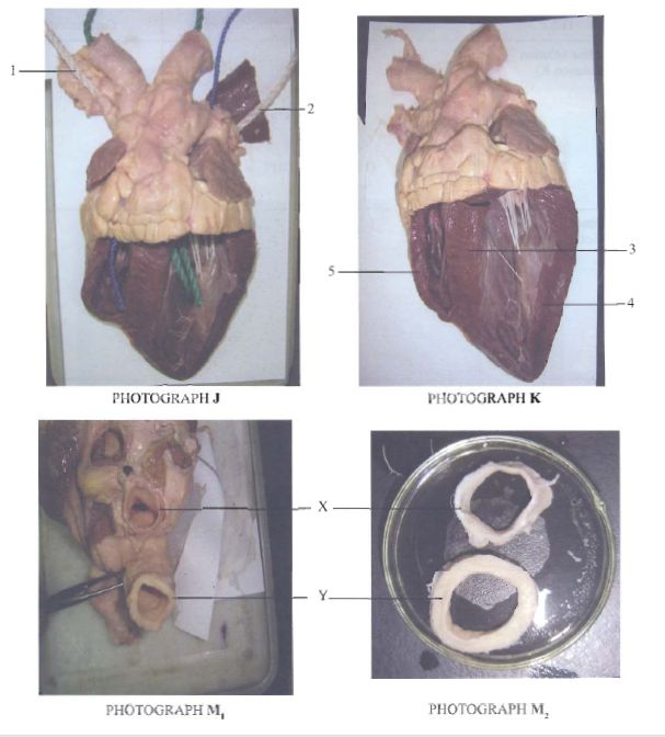Sections Mammalian Heart KCSE 2010 BIO P3 Q2